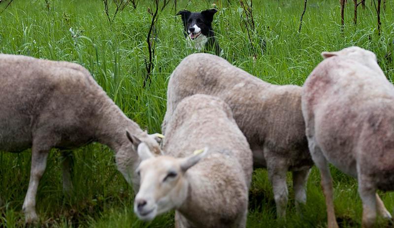 Flippa med får