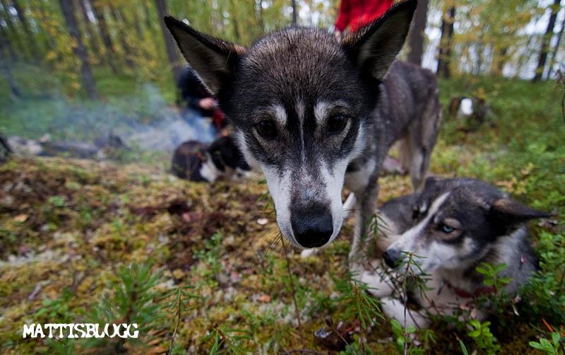 Husky_walk_1