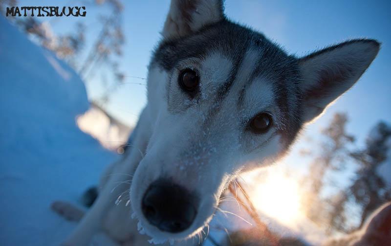 Siberian_husky_säljes_ele