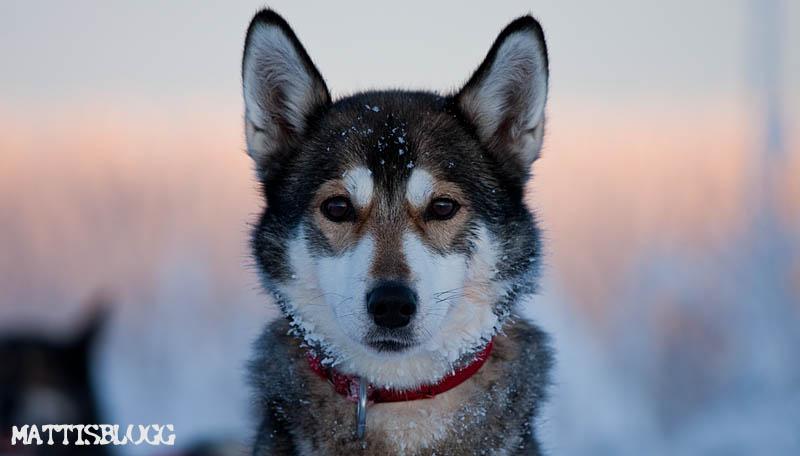 Siberian_husky_säljes_lisa
