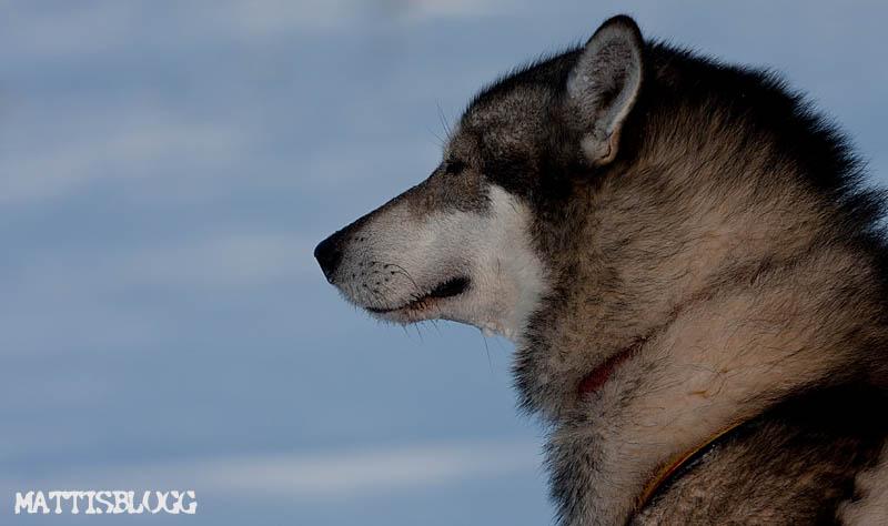 Siberian_husky_säljes_pelle