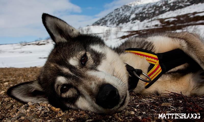 Siberian_husky_säljes_svenne