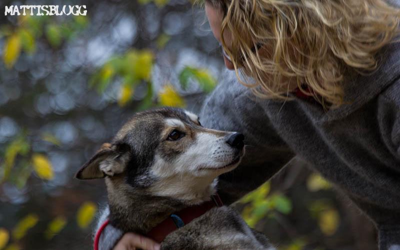 Siberian_husky_kennel_1
