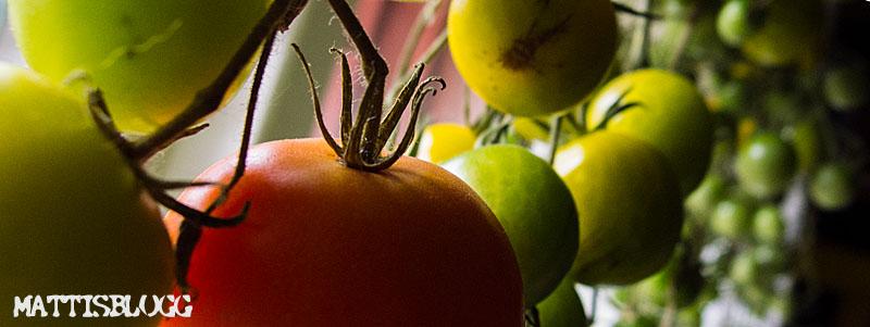 Tomatodling_2