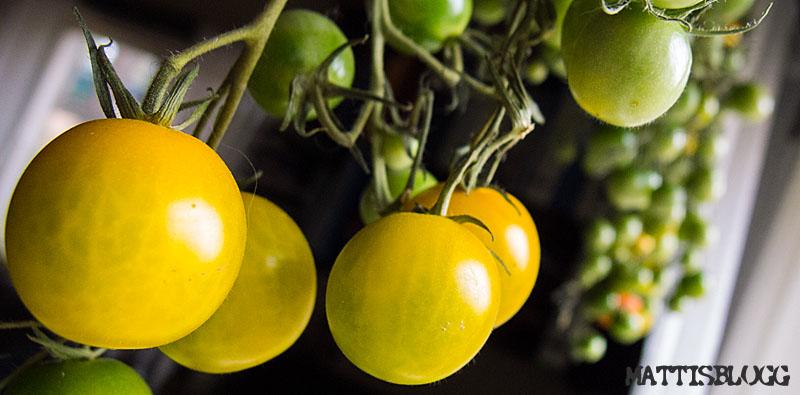 Tomatodling_3