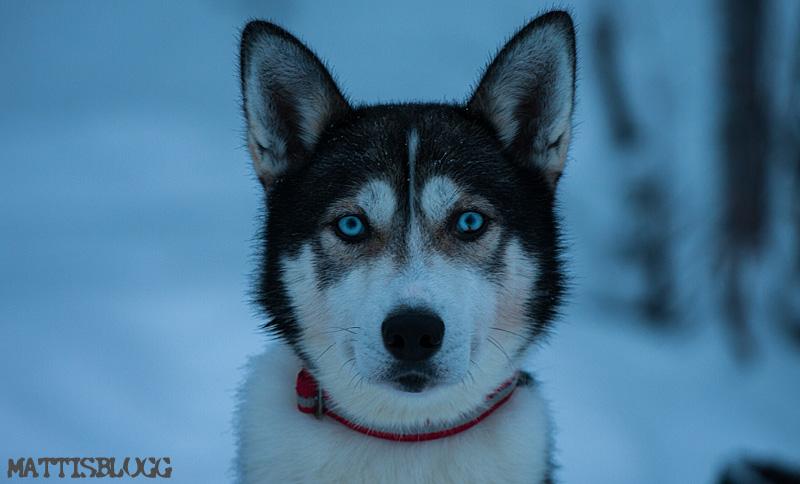 Hundspannsdagar_Jokkmokksskogarna_2