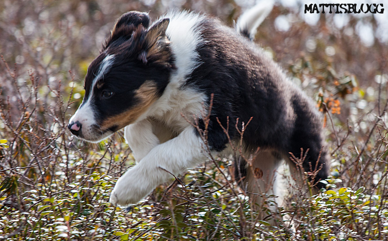 Border_collie_valpar_3