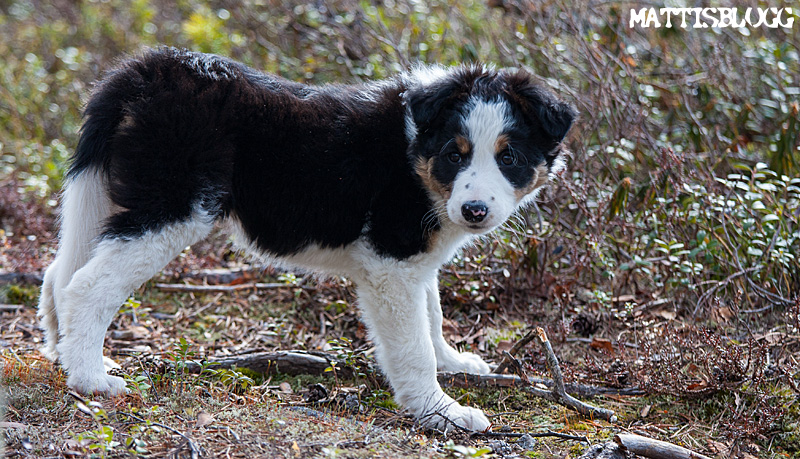 Border_collie_valpar_5