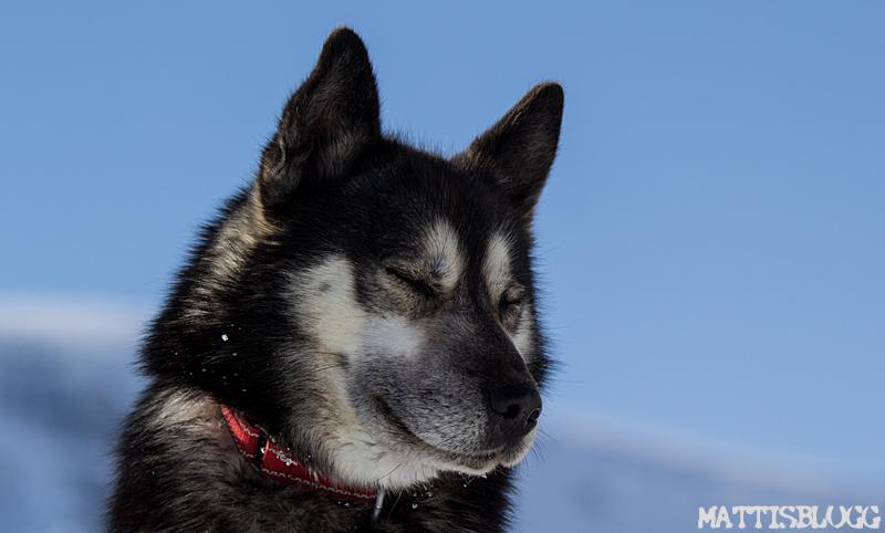 Hundspann_laponia_kebnekaise_kungsleden_3