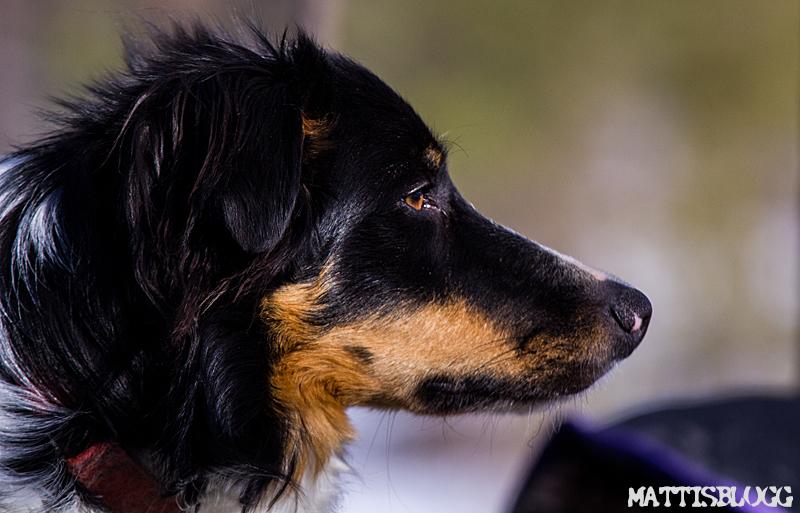 Majhundspannskörning_jokkmokk_4
