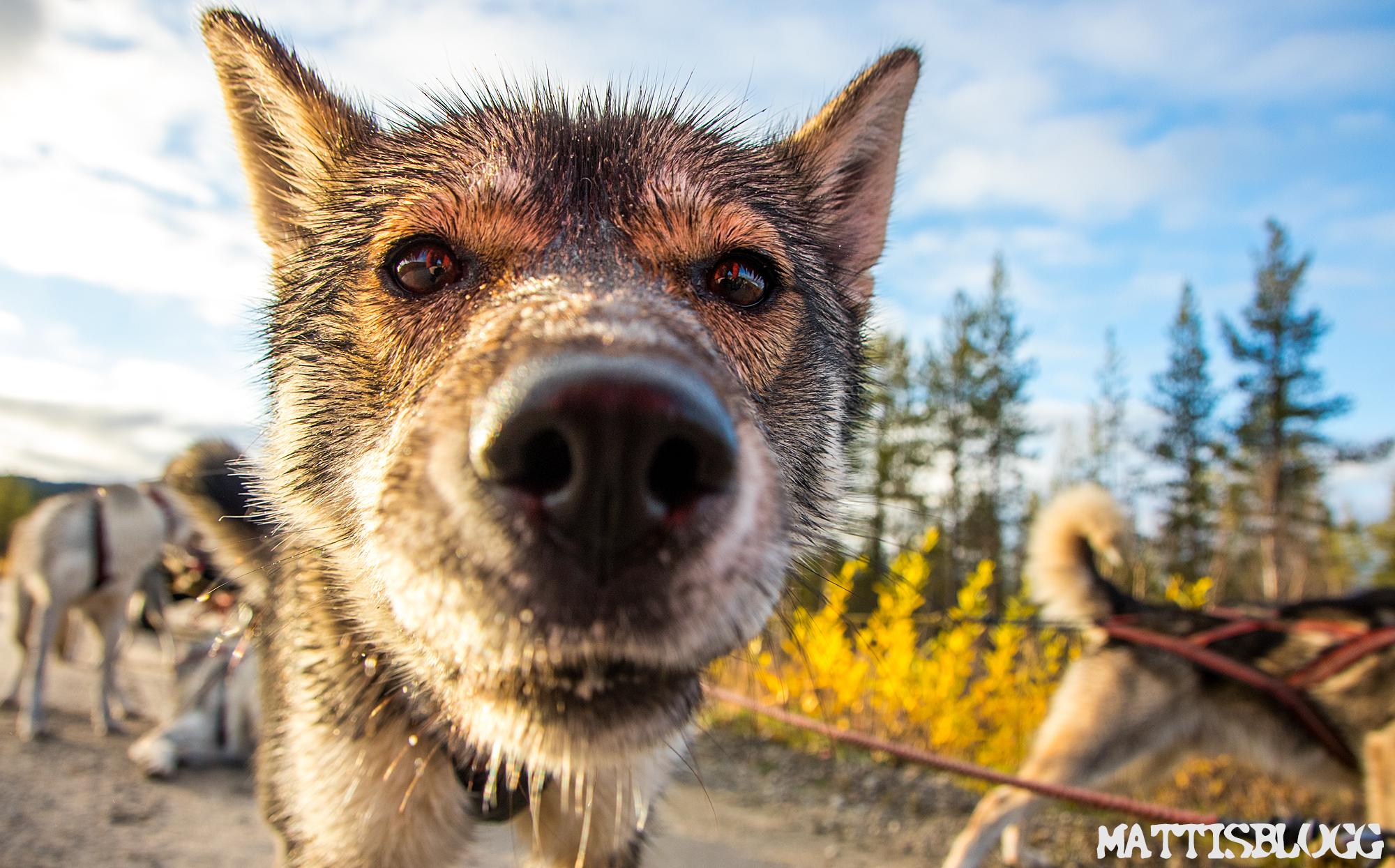 Siberian-husky-höstträning-1