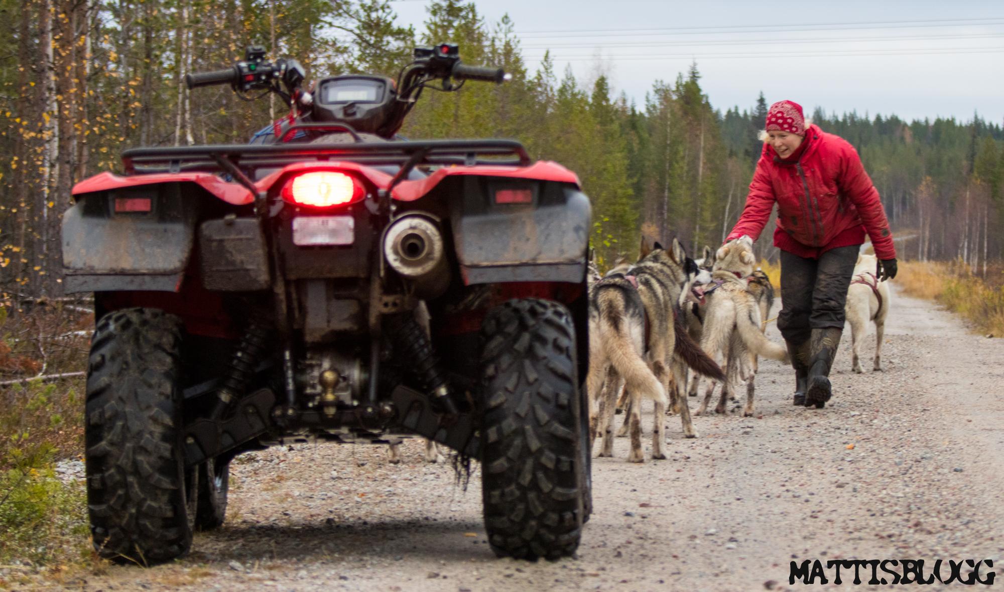 Siberian-husky-höstträning-2