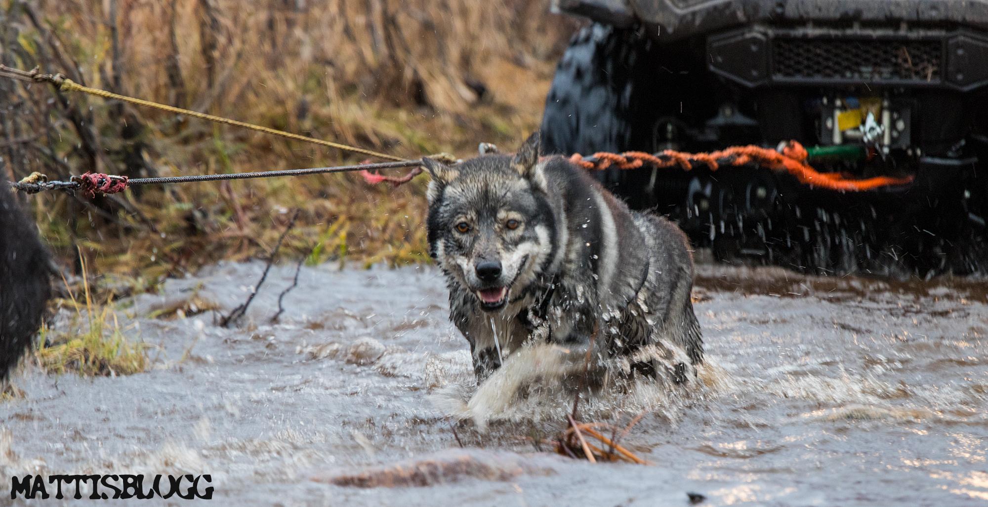 Siberian-husky-höstträning-3