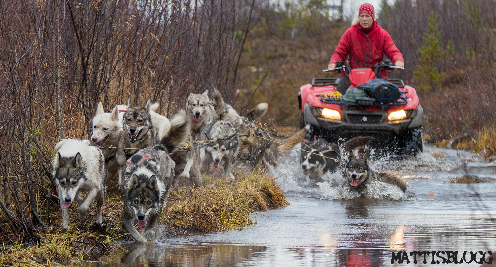 Siberian-husky-höstträning-4