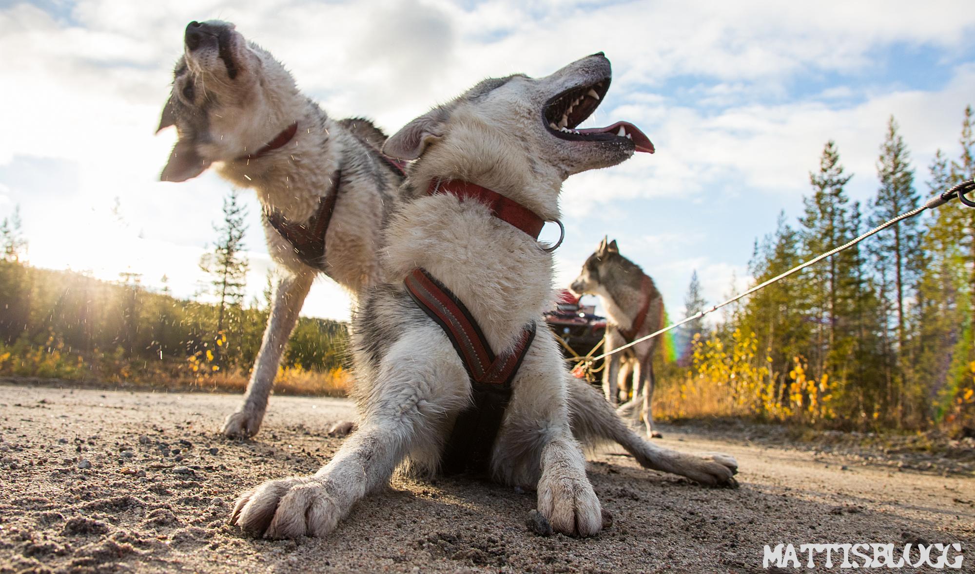 Siberian-husky-höstträning-5