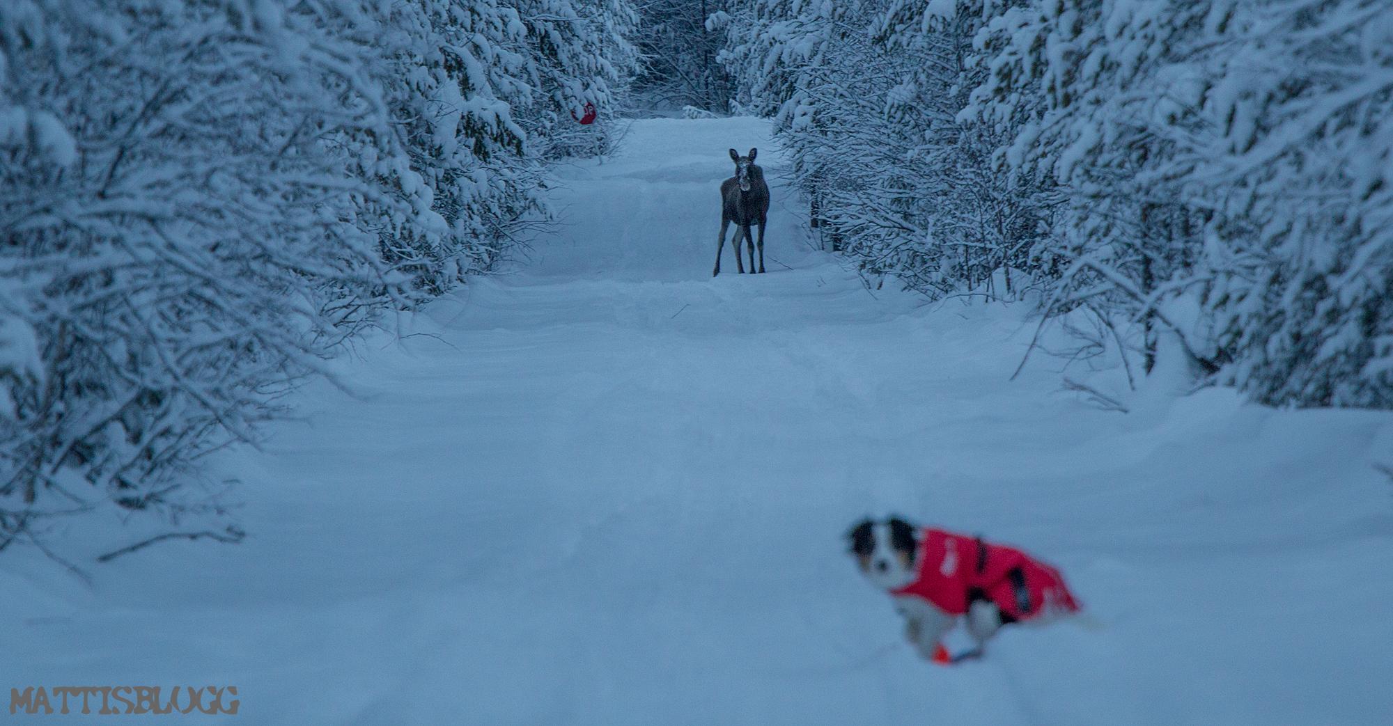 Hundspannstur-swedish-lapland-4