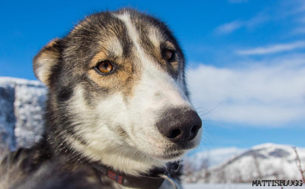 Siberian huskyn Bruno