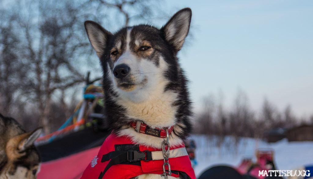 Hundtäcke på siberian huskie